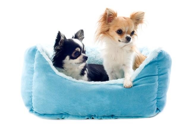 Chihuahuas acostado en la cama del perro