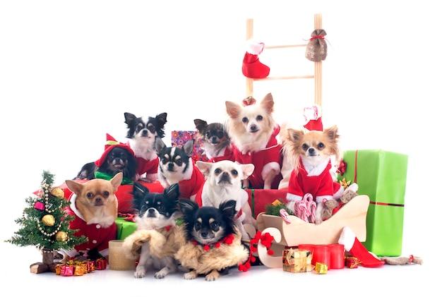 Chihuahuas de navidad