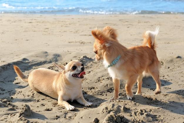 Chihuahuas en la playa