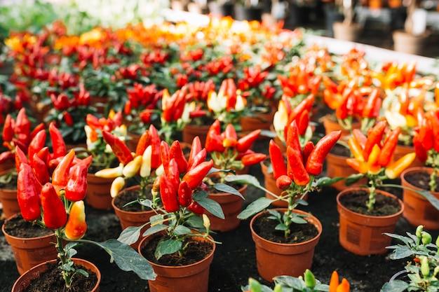Chiles rojos frescos que crecen en invernadero
