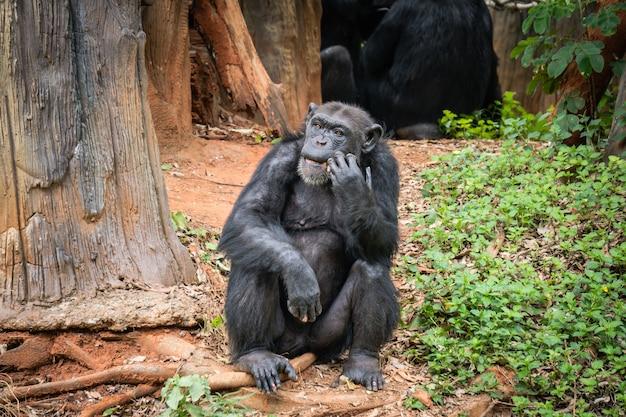 Chimpancé mokey sentarse en el árbol de tocón con hierba en la selva