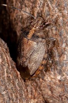 Chinche apestosa del género antiteuchus