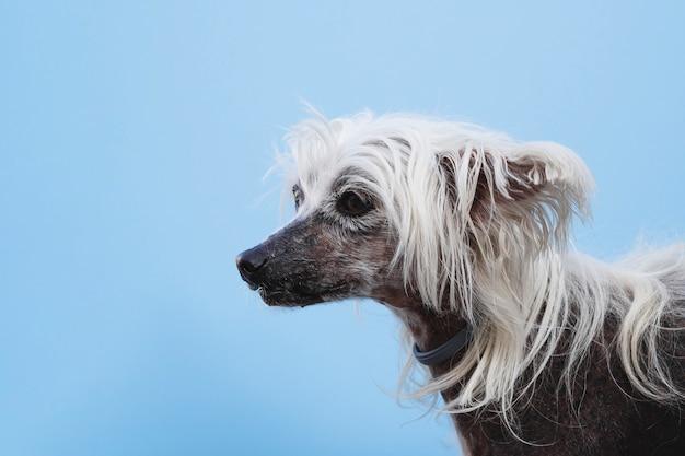 Chino con cresta y cabello largo y blanco mirando a otro lado
