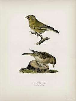 Chloris chloris ilustrada por los hermanos von wright.
