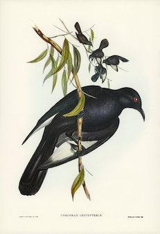 Chough de alas blancas (corcorax leucopterus) ilustrado por elizabeth gould