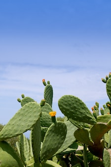 Chumbera nopal cactus planta tipica mediterranea