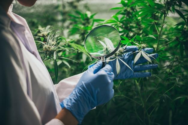 Científico que controla las plantas de cáñamo en un invernadero de malezas. concepto de medicina alternativa a base de hierbas, aceite de cbd, industria farmacéutica