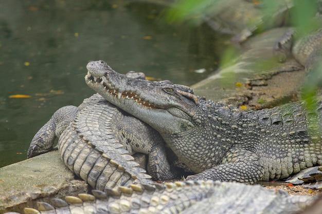 Cierre de la cabeza de la sal de cocodrilo dormir en el canal.