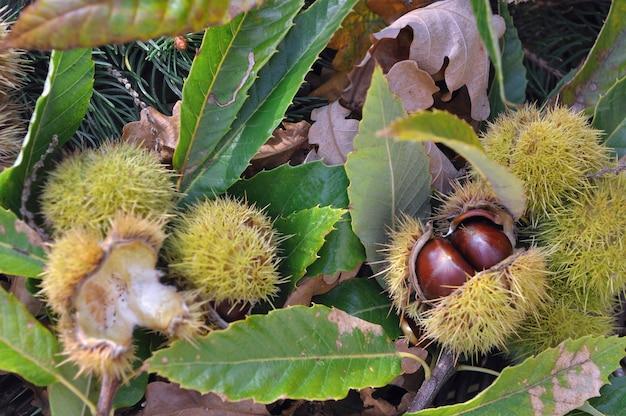 Cierre en castañas frescas en su cáscara y cayó al suelo en hojas