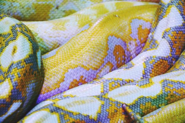 Cierre del fondo de la textura de la piel de serpiente del pitón del albino para arriba