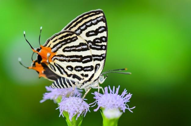 Cierre de mariposa blanca con rayas negras y cola naranja comiendo néctar en las flores de hierba en tailandia, club silverline o spindasis syama terana
