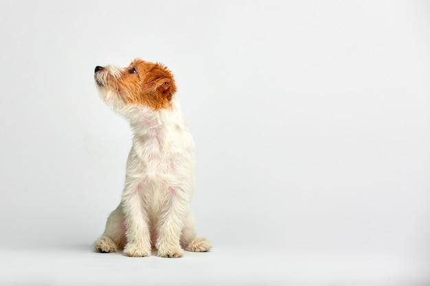 Cierre del perrito de jack russell terrier para arriba en blanco, copyspace. tiro del estudio