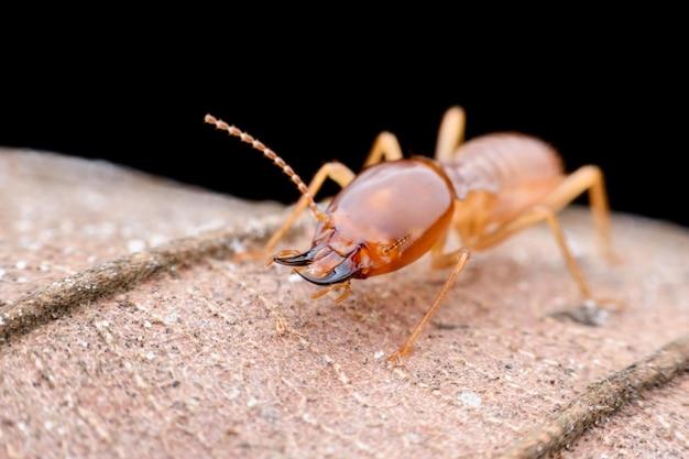 Cierre de termitas trabajador en hoja seca