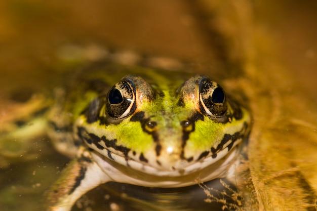 Cierre de la vista de la rana comestible (pelophylax esculentus) en un charco.