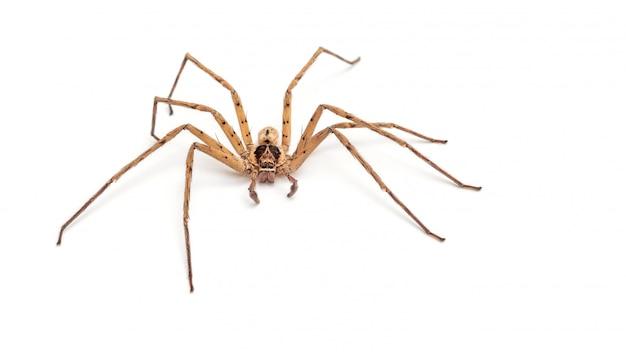 Ciérrese para arriba de una araña del plátano en un fondo blanco.