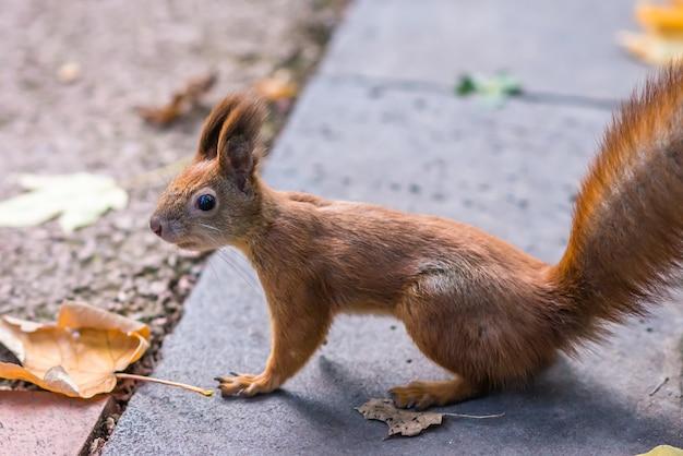 Ciérrese para arriba de una ardilla en parque del otoño.