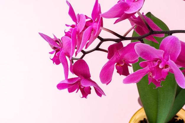 Ciérrese para arriba de un brote de la orquídea en fondo en colores pastel rosado. foto creativa