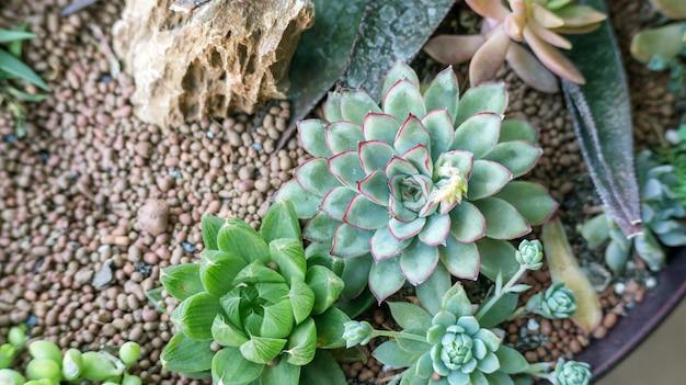 Ciérrese para arriba del cactus suculento en un jardín.