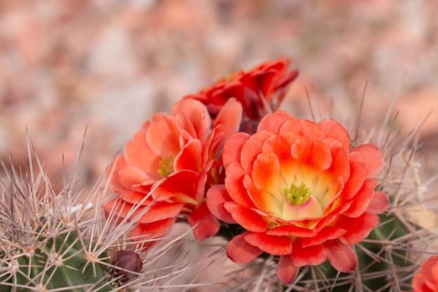 Ciérrese para arriba del cuctus en la floración con las flores anaranjadas.
