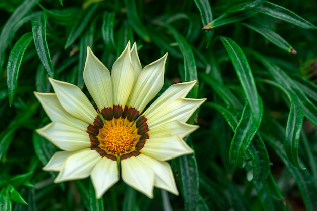 Ciérrese para arriba de la flor de gazania o de la margarita africana en un jardín