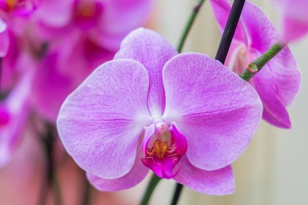Ciérrese para arriba de la flor púrpura floreciente hermosa de la orquídea del phalaenopsis. fondo floral exótico
