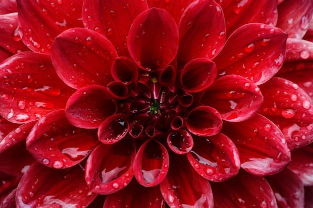 Ciérrese para arriba en la flor roja de la dalia del centro