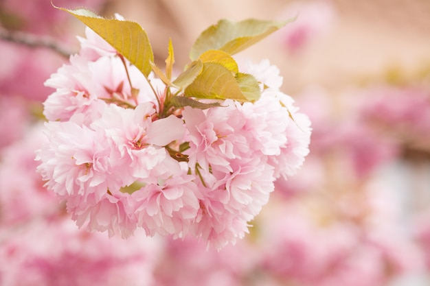 Ciérrese para arriba de las flores rosadas hermosas de sakura en la mañana. flor de cerezo