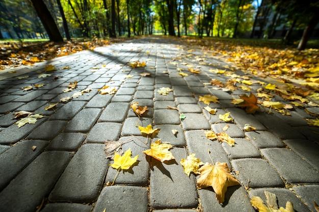 Ciérrese para arriba de las hojas de arce amarillas grandes que ponen en la acera peatonal en parque del otoño.
