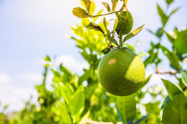 Ciérrese para arriba del limón de un árbol en una arboleda del limón. copia espacio de fondo