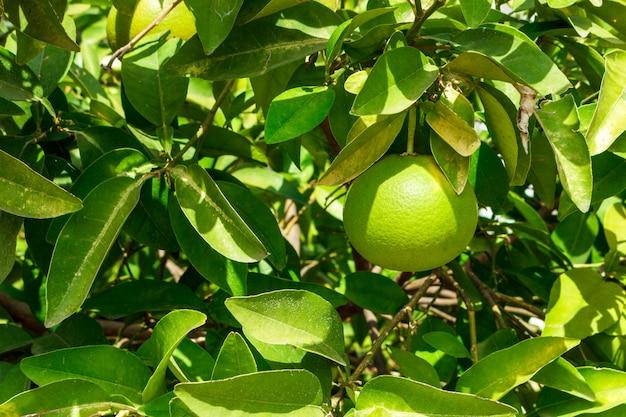 Ciérrese para arriba de pomelo verde en árbol con el fondo verde de la hoja