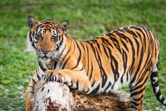 Ciérrese encima del tigre de indochinese.