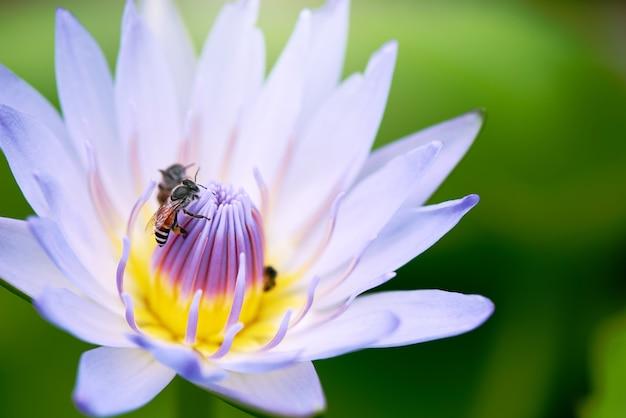 Ciérrese encima de la flor y de las abejas de loto de la naturaleza.