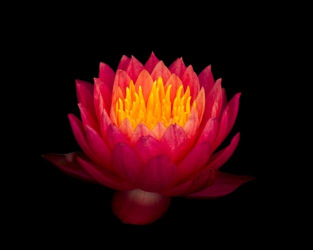 Ciérrese encima de la flor del lirio de agua del fuego solar aislada en fondo negro.