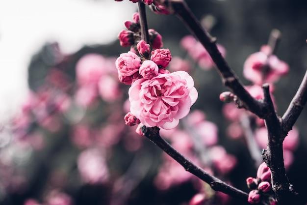Ciérrese encima del flor rosado de la flor del ciruelo en árbol en el fondo estacional, natural de la primavera