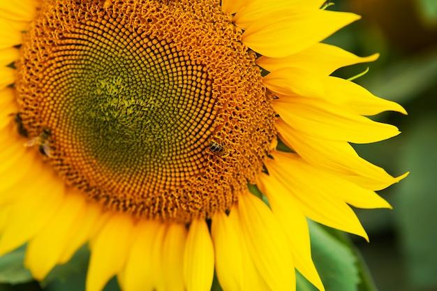 Ciérrese encima del fondo de la naturaleza del girasol y de la abeja de trabajo