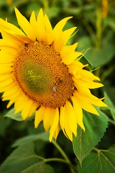 Ciérrese encima del girasol hermoso y de las abejas en él.