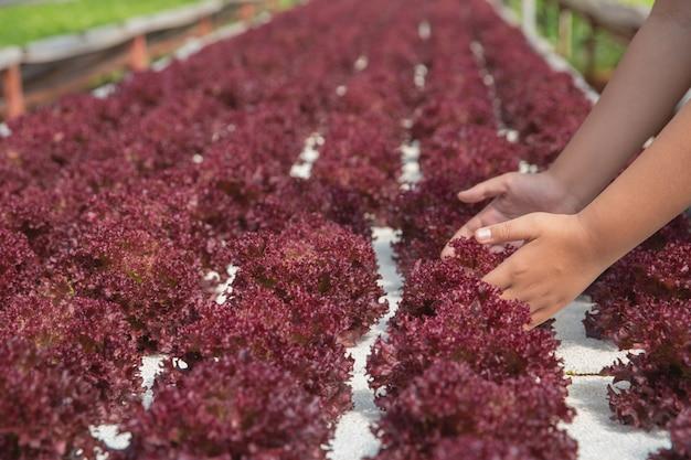 Ciérrese encima de granjero de la mano en jardín hidropónico durante fondo de la comida del tiempo de mañana