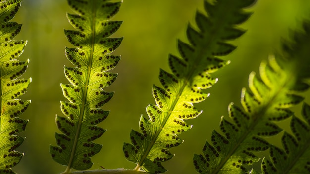 Ciérrese encima de las hojas del helecho y de sus esporas con el fondo verde de la naturaleza del bosque.