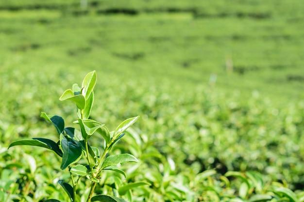Ciérrese encima de las hojas del té verde en granja en mesetas en el campo de tailandia.