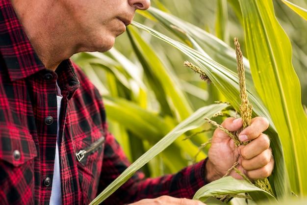 Ciérrese encima del hombre que sostiene una planta de maíz