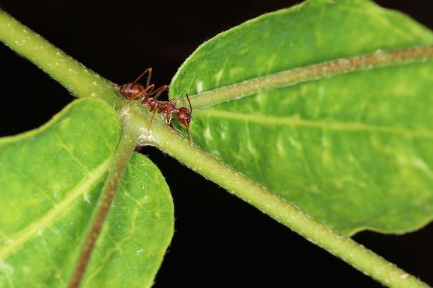Ciérrese encima de hormiga roja en laef verde en naturaleza en tailandia