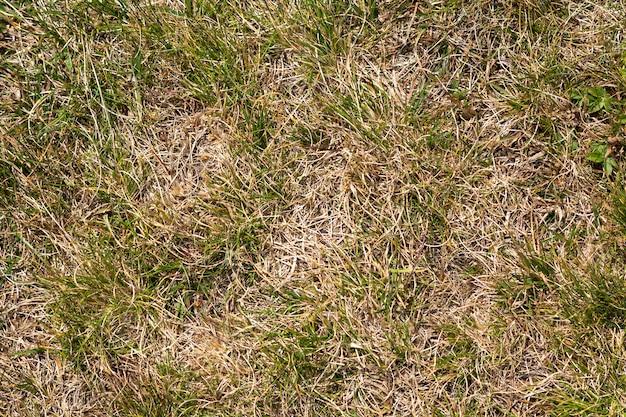 Ciérrese encima de la imagen abstracta de la visión superior del campo de hierba salvaje amarillo seco resistido con algunas cuchillas verdes en día soleado de la primavera o del verano. concepto de belleza del medio ambiente natural.