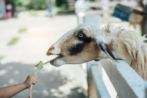 Ciérrese encima de los niños que alimentan ovejas en granja.
