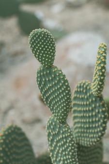 Ciérrese encima de las orejas de conejo o del cactus de las alas del ángel en un jardín. (opuntia microdasys)