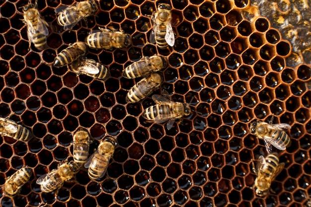 Ciérrese encima del panal en marco de madera con las abejas, concepto de la apicultura,