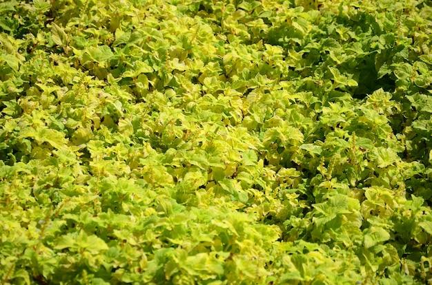 Ciérrese encima de la planta amarilla colorida del coleo en un jardín. vista superior