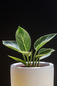 Ciérrese encima de las plantas hermosas de la casa del filodendro en la maceta blanca aislada