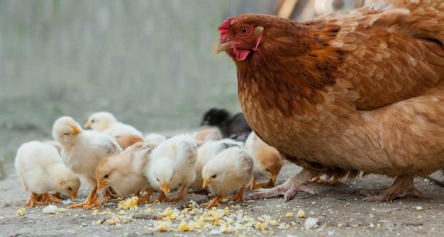 Ciérrese encima de polluelos amarillos en el piso