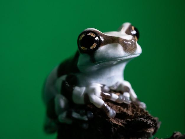 Ciérrese encima de la rana minúscula de la leche del amazonas.