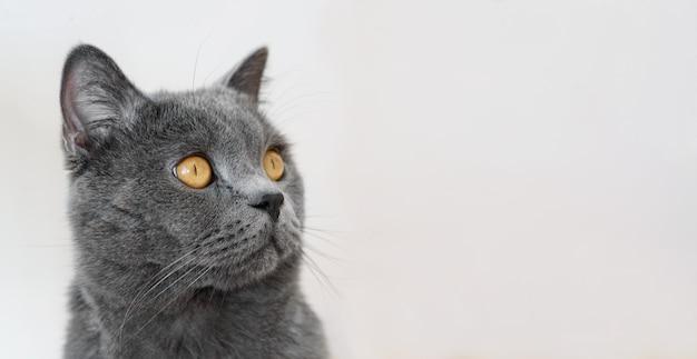 Ciérrese encima del retrato del gato británico de pelo corto, en el fondo blanco